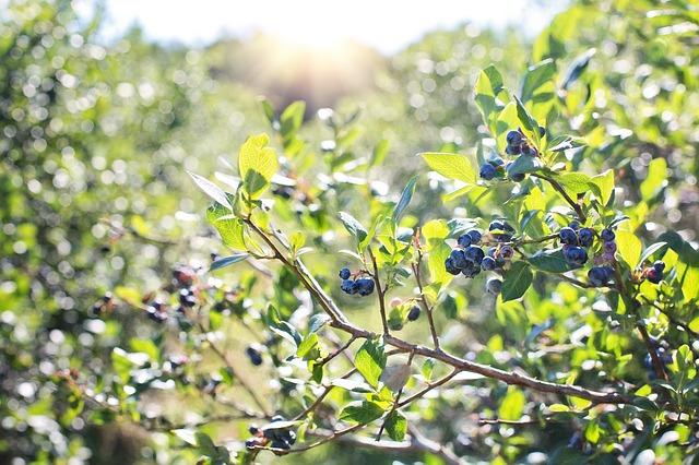plody kanadské borůvky
